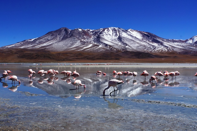 Poserende flamingo's