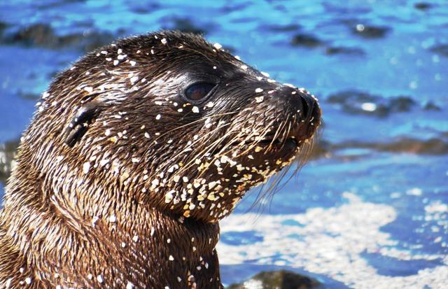 Zandhappend zeeleeuwtje, James Bay, Santiago