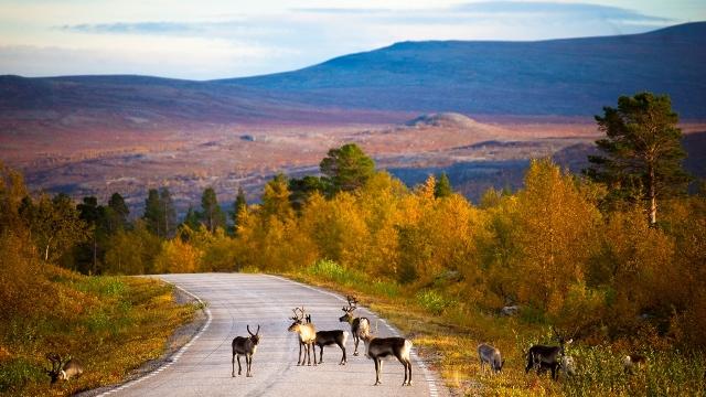Lapland_vastavalo_rendieren