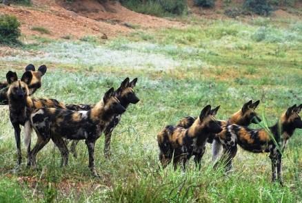 Safarisprookje Timbavati: op jacht met wilde honden en een vete tussen luipaarden