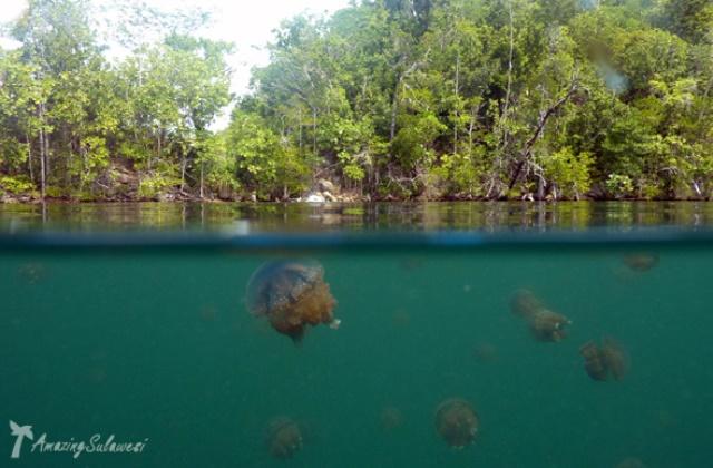 jellyfish_lake_togian_sulawesi