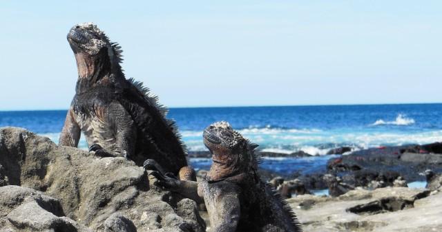 Marine Iguanas warmen zich op aan de lava (James Bay, Santiago)