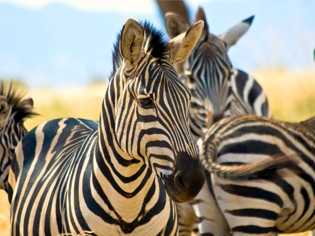 tanzania-reis-safari-zebras-