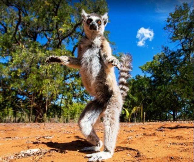 """Effe checken wat daarachter gebeurt..."" Nieuwsgierige lemur op Madagaskar."