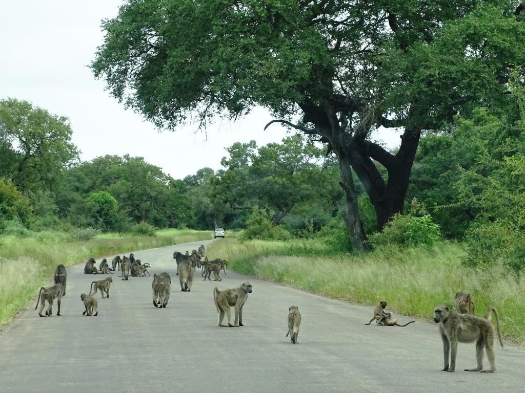 Safari Krugerpark Zuid-Afrika: apen op geasfalteerde wegen