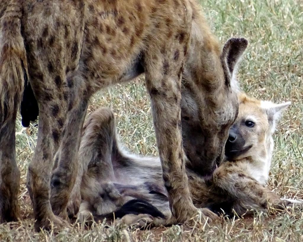 Safari Krugerpark Zuid-Afrika: een hyena met haar jong
