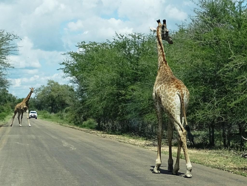 Safari Krugerpark Zuid-Afrika: giraffen op de weg