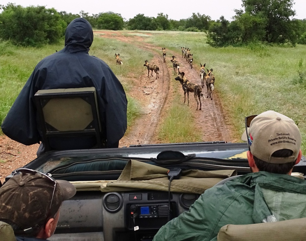 Safari prive-reservaat Zuid Afrika: wilde honden in Timbavati