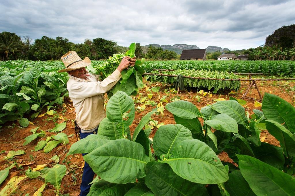 Een local op een tabaksveld in Viñales, Cuba
