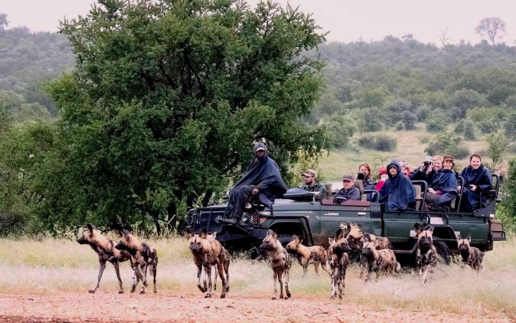 Een zeldzame roedel wilde honden | Safari Timbavati Private Game Reserve, Zuid-Afrika
