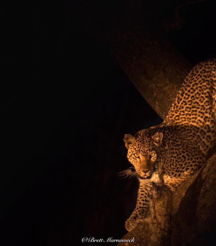 Vrouwtjesluipaard | Safari Timbavati Private Game Reserve, Zuid-Afrika