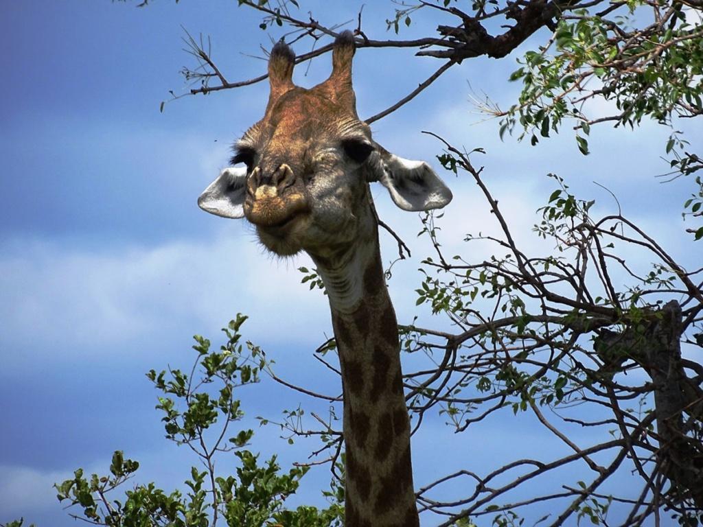 Vriendelijk ogende giraffe | Safari Timbavati Private Game Reserve, Zuid-Afrika