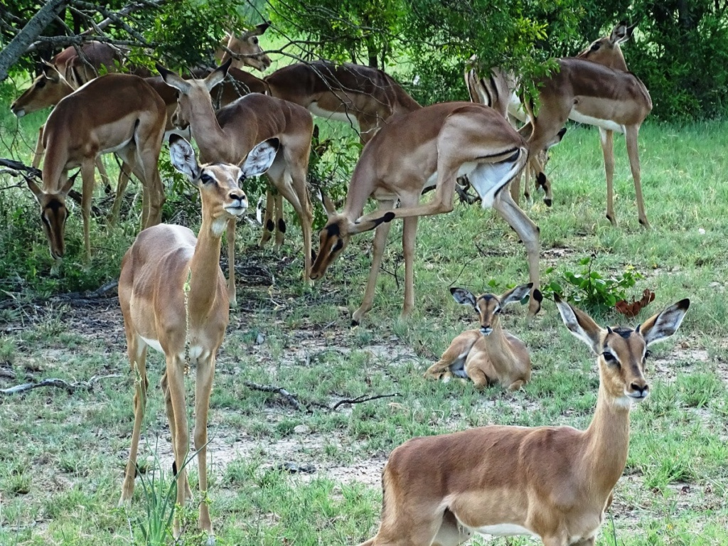 Overal waar je kijkt zie je impala's | Safari Timbavati Private Game Reserve, Zuid-Afrika