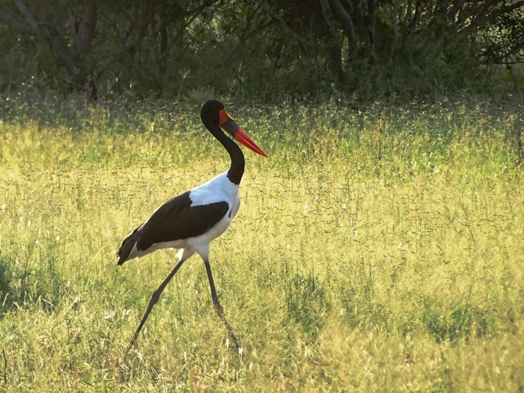 Prachtig gekleurde zadelbekooievaar in vogelparadijs Timbavati Private Game Reserve, Zuid-Afrika