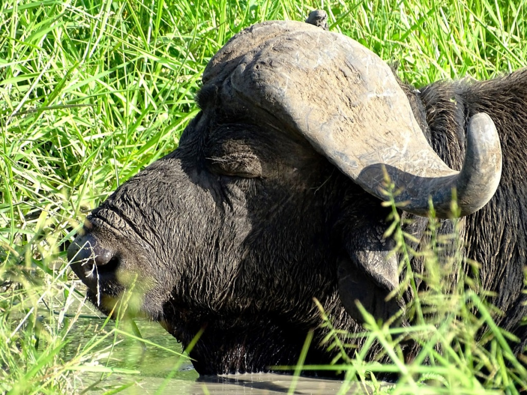Buffel in een modderpoel | Safari Timbavati Private Game Reserve, Zuid-Afrika