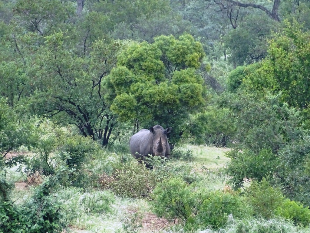 Neushoorn | Timbavati Private Game Reserve, Zuid-Afrika