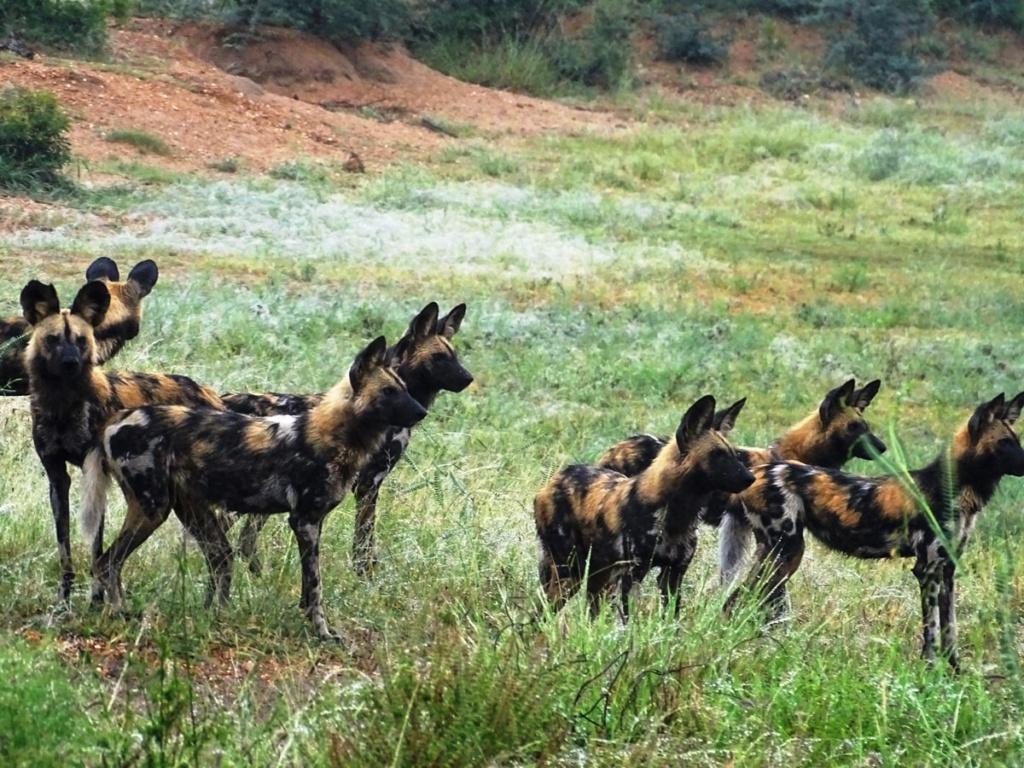 Een roedel wilde honden | Safari Timbavati Private Game Reserve, Zuid-Afrika