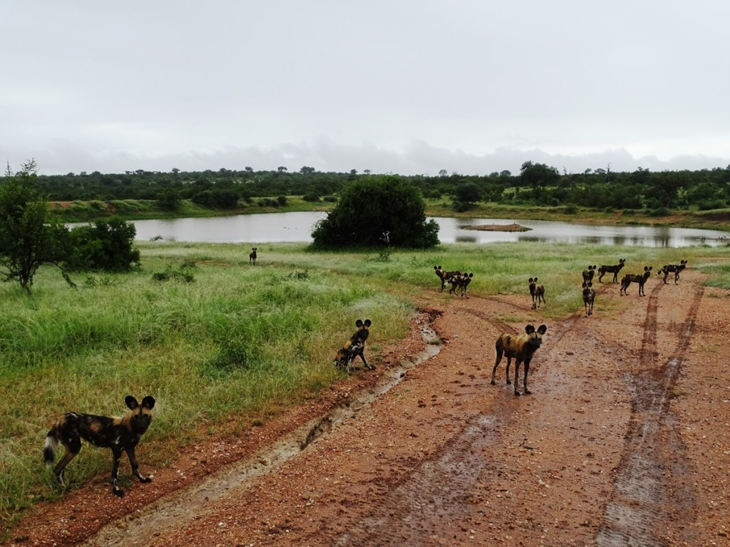 Wilde honden in Timbavati Private Game Reserve, Zuid-Afrika