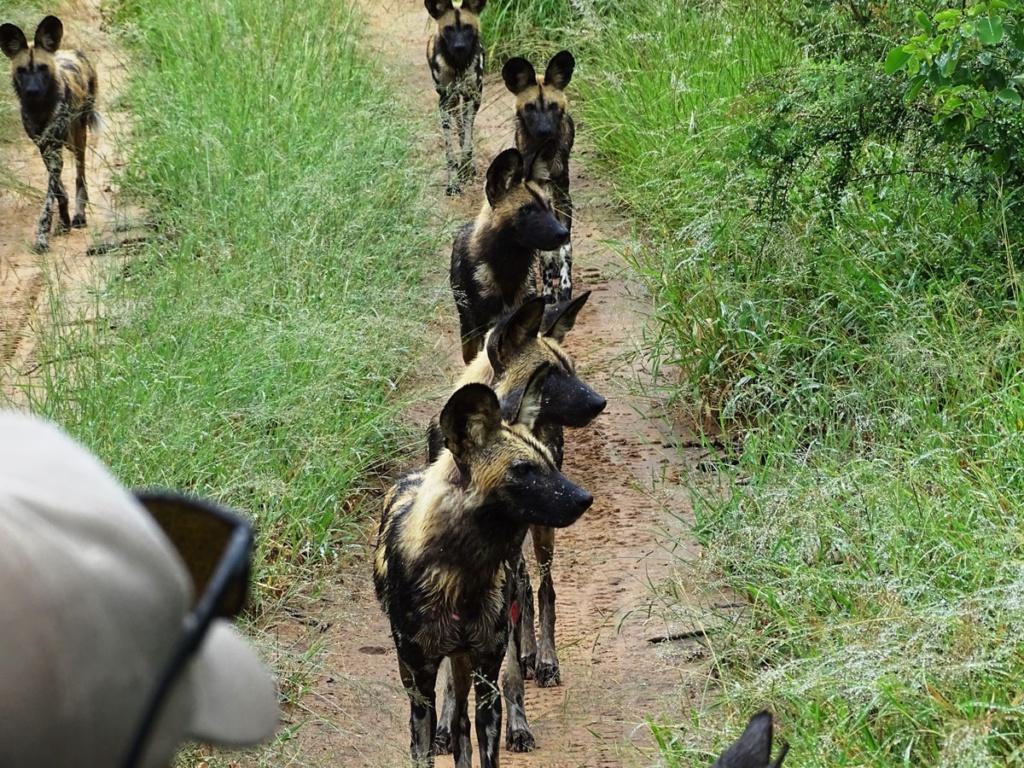Zeldzame roedel wilde honden tijdens onze safari in Timbavati Private Game Reserve, Zuid-Afrika