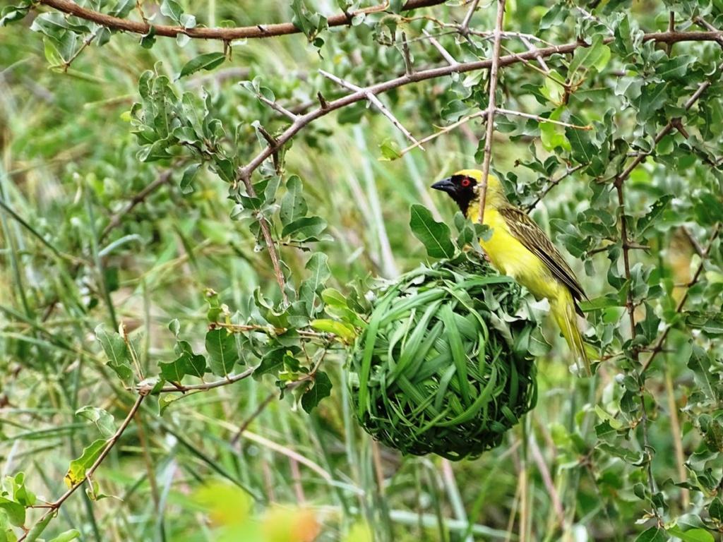 Vogel op zijn nestje in vogelparadijs Timbavati Private Game Reserve, Zuid-Afrika