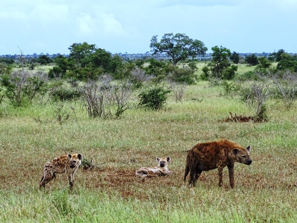 Een hyena met haar jongen | Timbavati Private Game, Zuid-Afrika