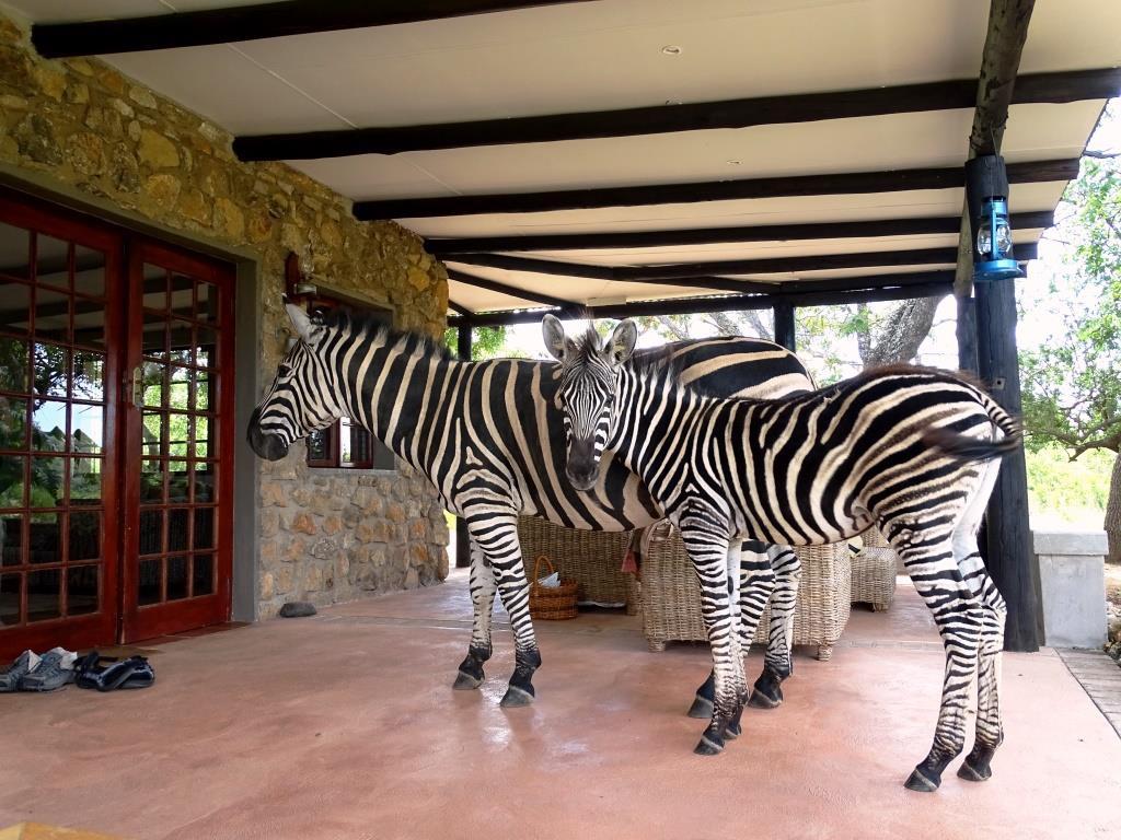 Zebra's bij onze bush cottage in Nelspruit (Zuid-Afrika accommodatie tip!)