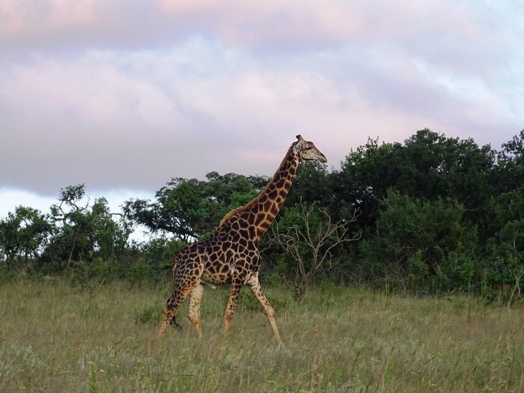 Prachtige giraffe gespot in Nelspruit, Zuid-Afrika