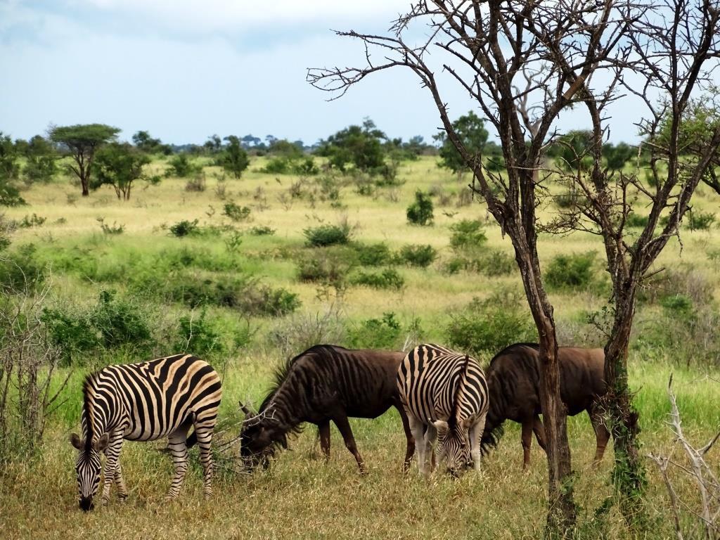 Grazende zebra's en wildebeesten (gnoes) in het Krugerpark, Zuid-Afrika