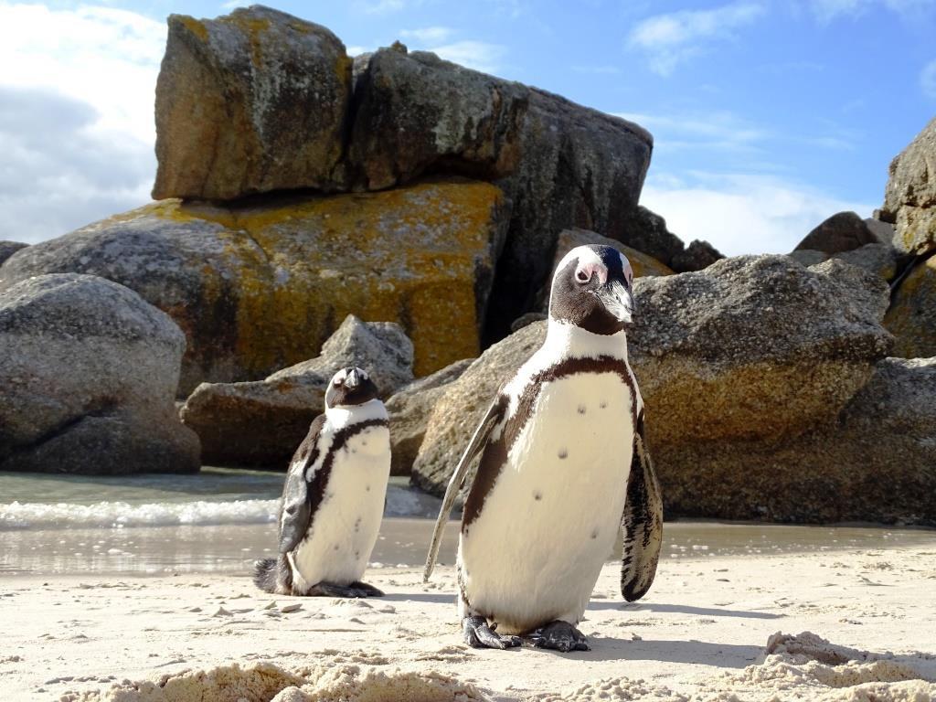 Duizenden pinguins spotten bij Boulders Beach in regio Kaapstad (Zuid-Afrika rondreis tip!)