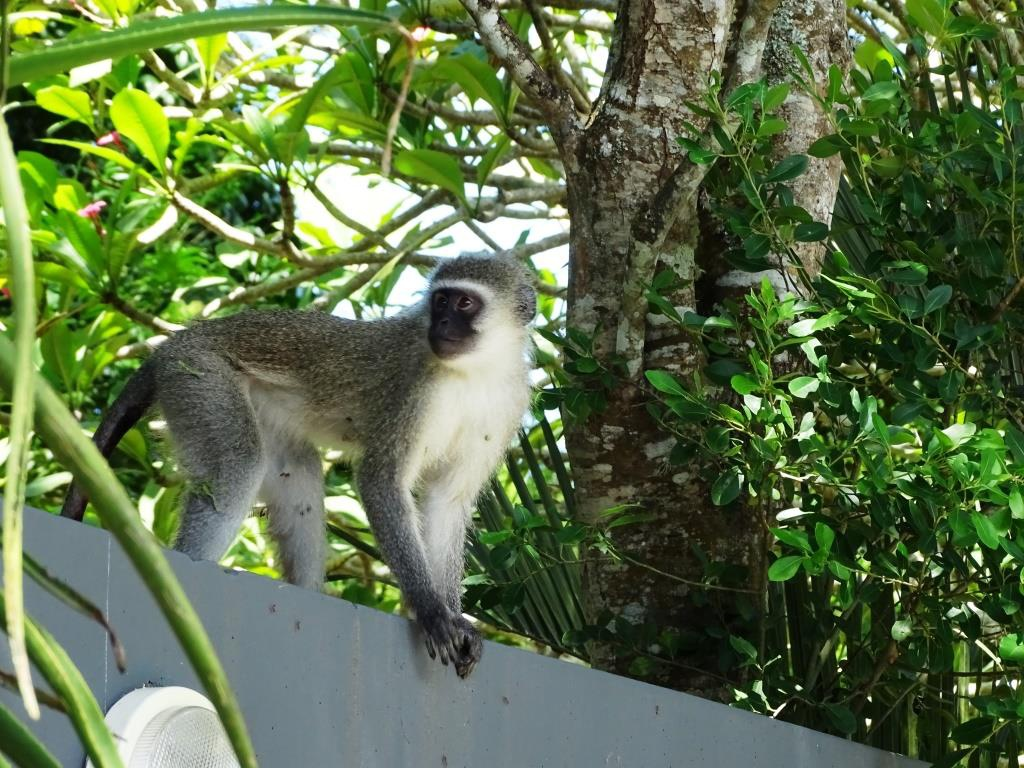 Nieuwsgierige aapjes bij Kingfisher Lodge, St. Lucia (Zuid-Afrika accommodatie tip!)