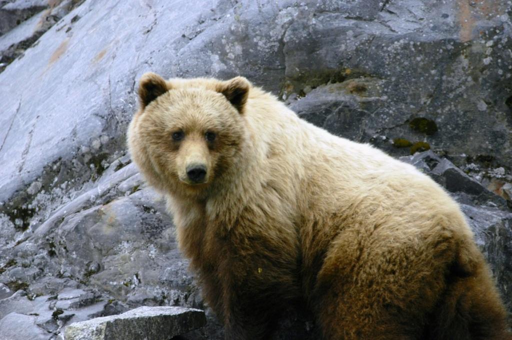 Alaska cruise: spot bruine beren tijdens een cruise naar Glacier Bay (Alaska vakantie tip!)