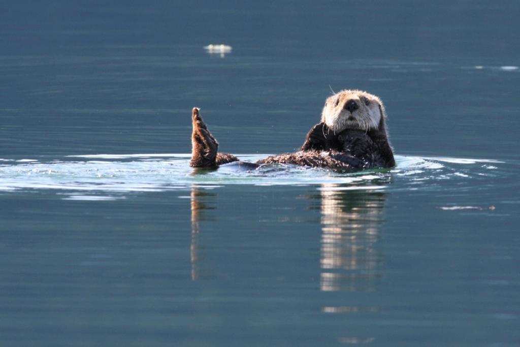 Cruise Alaska: spot zeeotters tijdens een boottocht naar de fjorden van Kenai Fjords National Park (Alaska vakantie tip)